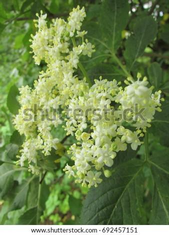 flowers of elder, Sambucus nigra, #692457151