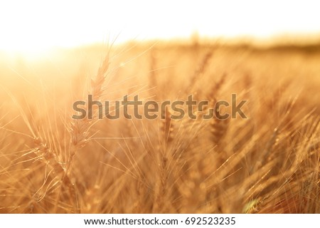 Wheat field. Ears of golden wheat close up. Rural Scenery under Shining sunset. close-up selective focus #692523235