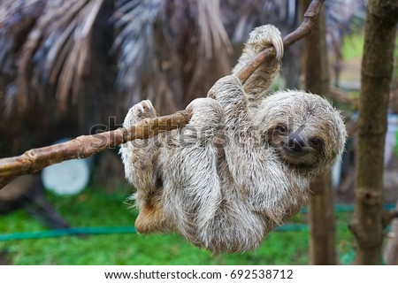 Sloths in Rescue Centre in Costa Rica San Jose #692538712