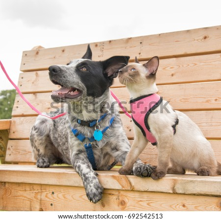 Siamese kitten and a Texas Heeler on a wooden park bench, looking up to the left #692542513
