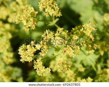 Lady's Mantle Flowers Alchemilla Mollis #692637805