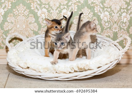 Cute kittens. Little purebred Abyssinian kittens in the basket playing together. Ruddy abyssinian and blue abyssinian kitten. Adorable animals Royalty-Free Stock Photo #692695384