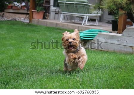 Running Yorkie