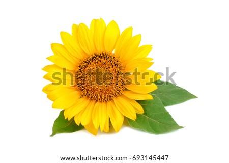 Beautiful sunflower on white background. #693145447