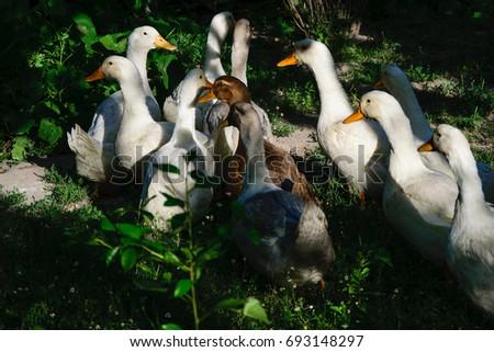 Ducks in the farm. #693148297