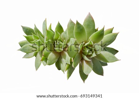 succulent plant in the garden #693149341