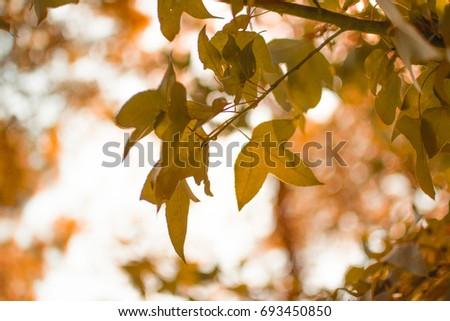 Maple leafs blur light background #693450850