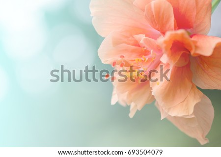 Close up Hibiscus Flower in soft focus.Orange Hibiscus Flower also known as Jane Cowl Tropical Hibiscus, Queen-of-the-tropics. Hibiscus flower on natural bokeh background.