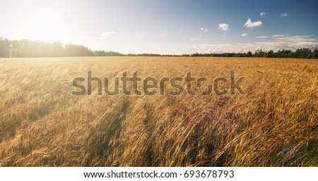 Background field crop. Agriculture. sun rays. ripening rye and wheat  #693678793