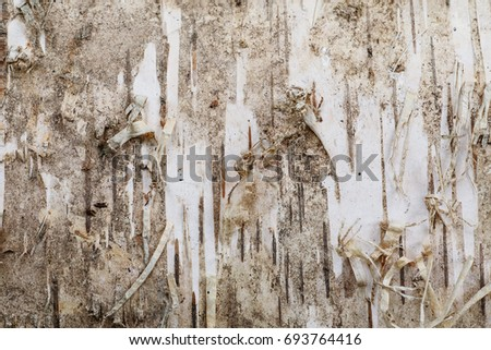 Birch bark texture closeup macro shot, abstract background #693764416