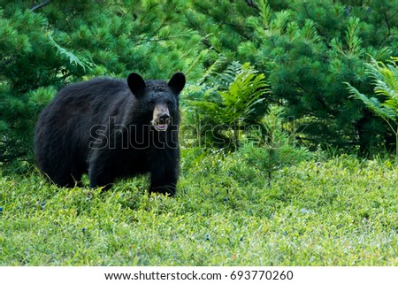 Black Bear - Ursus americanus, a large bear at the edge of a forest, feeding on blueberries in a meadow. Standing up on all fours, and mouth open as if to smile. #693770260