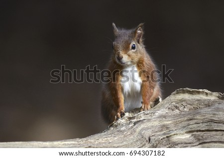 Red squirrel #694307182