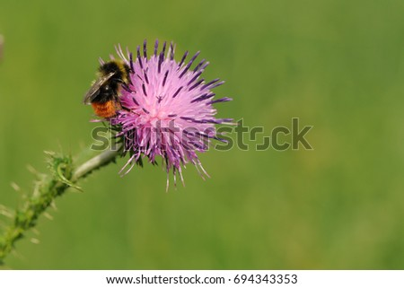 A Bumblebee on a thistle flower. Red-tailed Bumblebee gathering honey from thistle flower.  #694343353