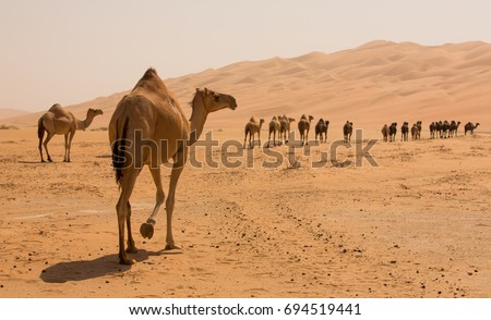 Group Of Camels walking in liwa desert in Abu Dhabi UAE Royalty-Free Stock Photo #694519441