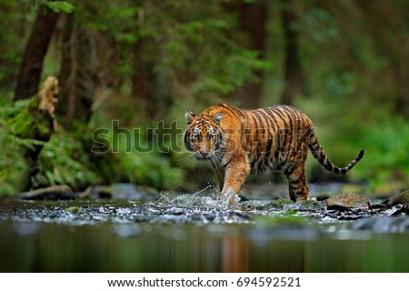 Amur tiger walking in the water. Dangerous animal, taiga, Russia. Animal in green forest stream. Grey stone, river droplet. Wild cat in nature habitat. #694592521