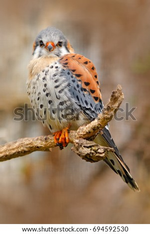 American kestrel Falco sparverius, sitting on the tree stump, little bird of prey sitting on the branch, Mexico. Bird in the nature habitat. Wildlife scene from nature. #694592530