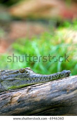 Fresh Water Crocodile #6946360