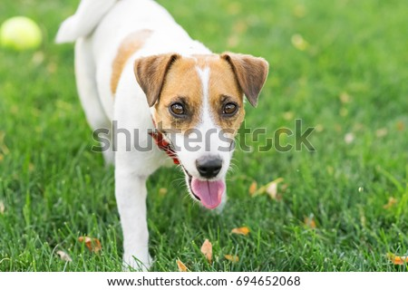 A little dog Jack Russell terrier walking on green lawn at sunny day. Copy-space left #694652068