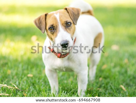 Portrait of a small dog Jack Russell Terrier standing on green lawn outdoor and looking in camera with curiosity at summer day. Copy-space #694667908