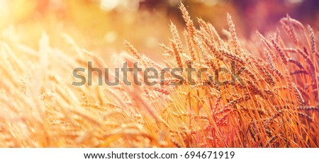 Majestic views. Wheat Field with the Sun. Golden Wheat Ears close-up. A fresh Crop of Rye. The idea of a Rich Harvest Concept. Rural Landscape under Shining Sunlight. Soft Lighting Effects. #694671919