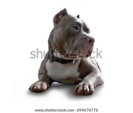 pitbull dog isolated