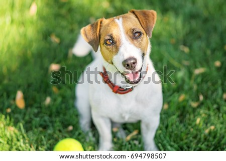 A cute dog Jack Russell Terrier resting after having fun with a small Tennis ball on green lawn outdoor at summer day. Copy-space left #694798507