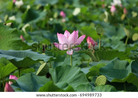 The Lotus Flower.Background is the lotus leaf and lotus flower and lotus bud and tree. #694989733