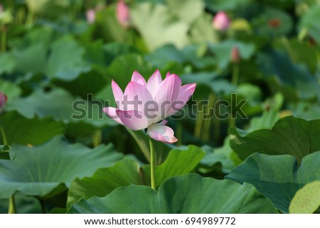 The Lotus Flower.Background is the lotus leaf and lotus flower and lotus bud and tree. #694989772