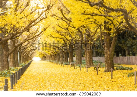 Yellow ginkgo trees and yellow ginkgo leaves at Ginkgo avenue.(Icho Namiki) Tokyo,Japan. #695042089