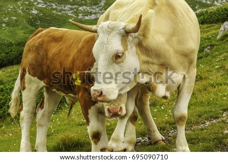 Mummy and cosy baby cow on alpine meadow / Schneeberg / Lower Austria #695090710