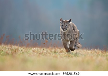 Cougar (Puma concolor), also commonly known as the mountain lion, puma, panther, or catamount. is the greatest of any large wild terrestrial mammal in the western hemisphere.