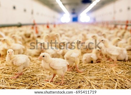 Indoors chicken farm, chicken feeding #695411719