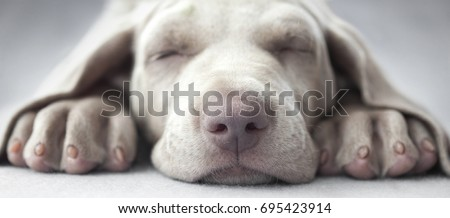 Little weimar puppy dog sleep in front of the camera #695423914