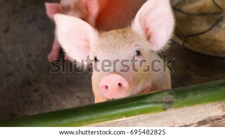 Close-up picture of a pig in a Thai farm is growing. #695482825