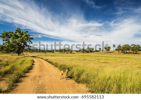 Country track and scenery in Australian outback with curious working dog enjoying the dirt road and grassy paddocks. Trees in the distance.  Sunny day, blue sky, whispy clouds, fresh air. #695582113