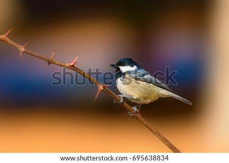 Cute little bird. Clean background. Yellow blue nature background. #695638834