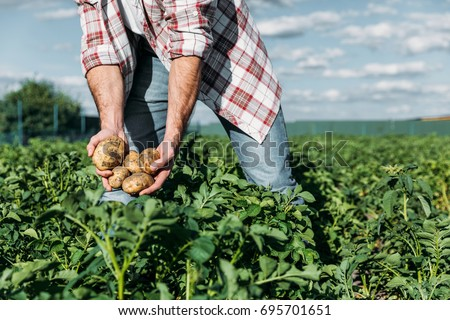 cropped shot of gardener in checkered shirt holding potatoes while working on farm