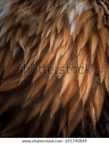 closeup texture of bald eagle feathers