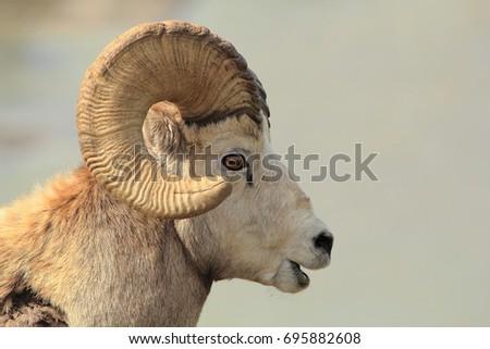 Bighorn Sheep Profile #695882608