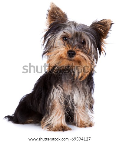 Yorkshire terrier looking at the camera in a head shot, against a white background #69594127