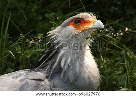 Portrait of the secretary bird on a close up horizontal picture. A rare African bird of pray with beautiful feathers.