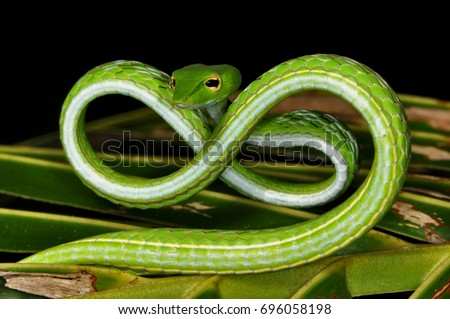 An Asian Whip or Vine Snake in a unique defense pose   wild animal photographed at night in Bali Royalty-Free Stock Photo #696058198