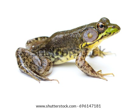 Green Frog (Lithobates clamitans) isolated on a white background #696147181