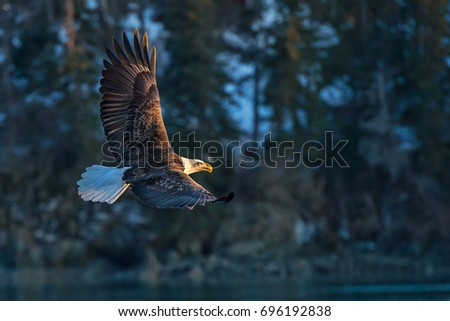 american bald eagle in flight against background of forested hillside of cove in Alaska's Kenai region