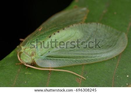 macro image of a beautiful Moth Lacewing , Rapisma sp. #696308245