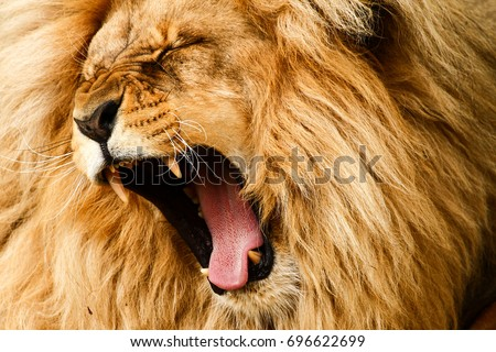 Roaring/yawing lion Royalty-Free Stock Photo #696622699