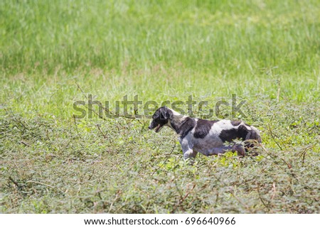 The skinny dog walks in the grass forest in the daytime. #696640966