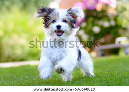 An adorable, happy puppy caught in motion while running on vibrant green grass in summer. Royalty-Free Stock Photo #696648019