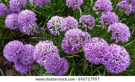 Allium Millenium, Ornamental Onion- Summer Beauty flowers, growing in the garden. Allium is a genus of monocotyledonous flowering plants in Amaryllidaceae family.   #696717997