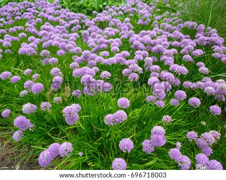 Allium Millenium, Ornamental Onion- Summer Beauty flowers, growing in the garden. Allium is a genus of monocotyledonous flowering plants in Amaryllidaceae family.  #696718003